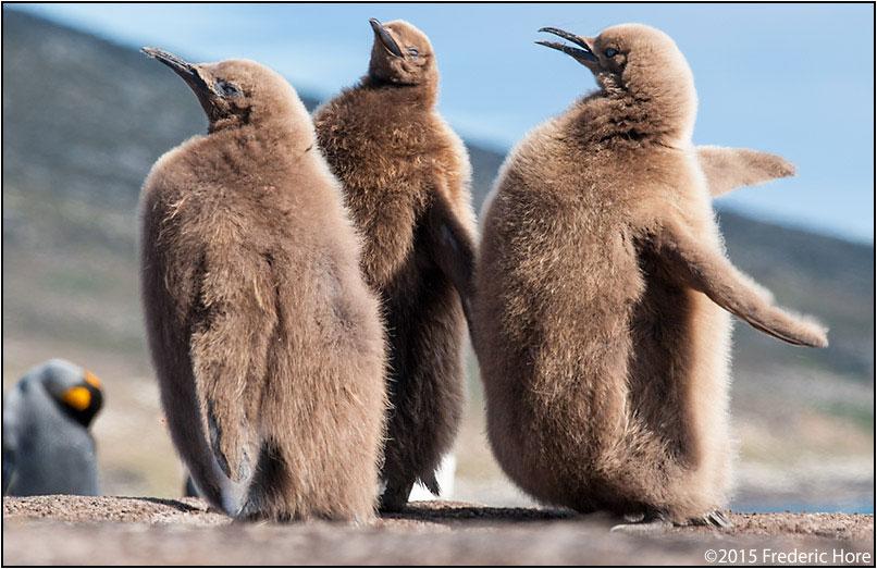 King penguin chicks by Fred Hore