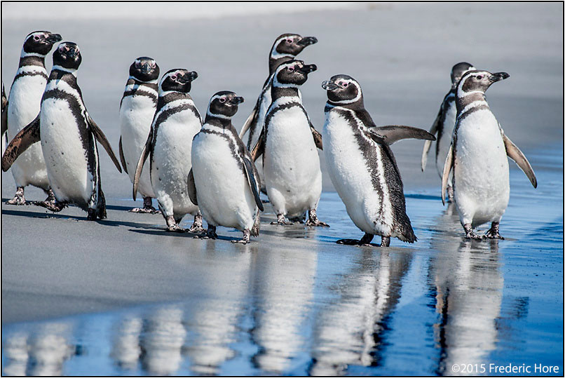 Magellanic penguins by Fred Hore