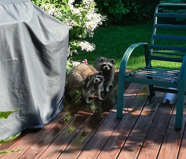 Photo of raccoons on deck